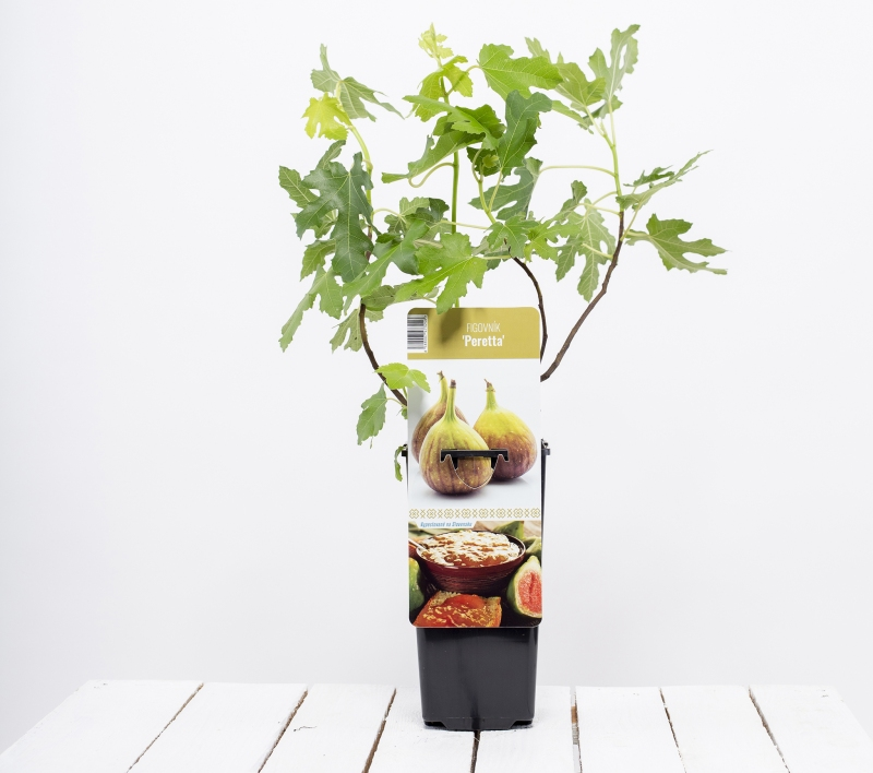Drobné ovocie - Figovník  ´PERETTA´
