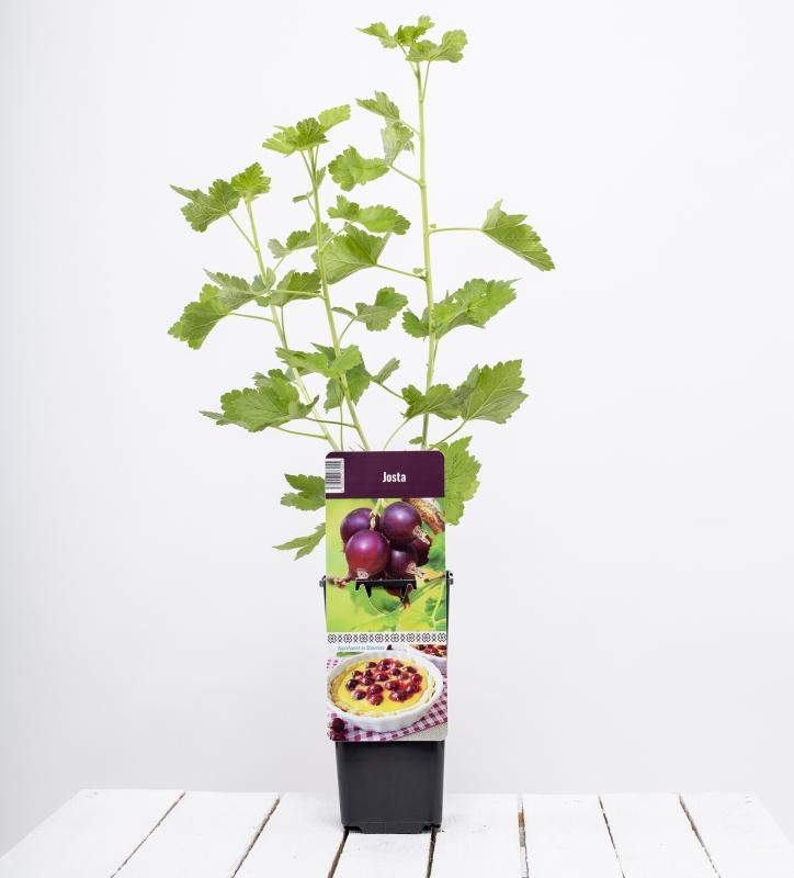 Drobné ovocie - Josta