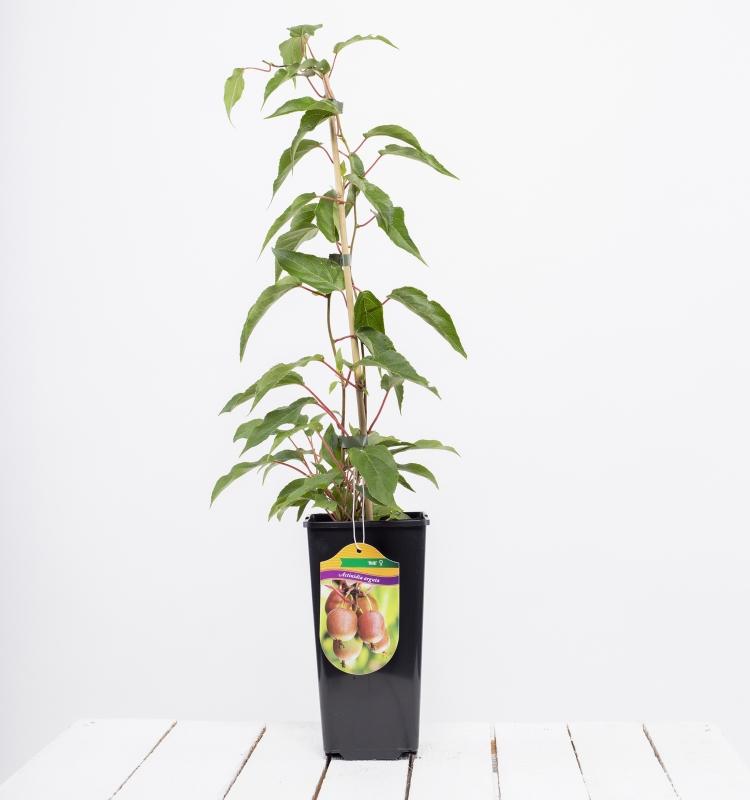 Drobné ovocie - Mini kiwi ´WEIKI´