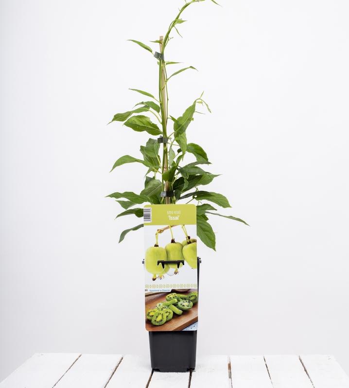 Drobné ovocie - Mini kiwi ´ISSAI´