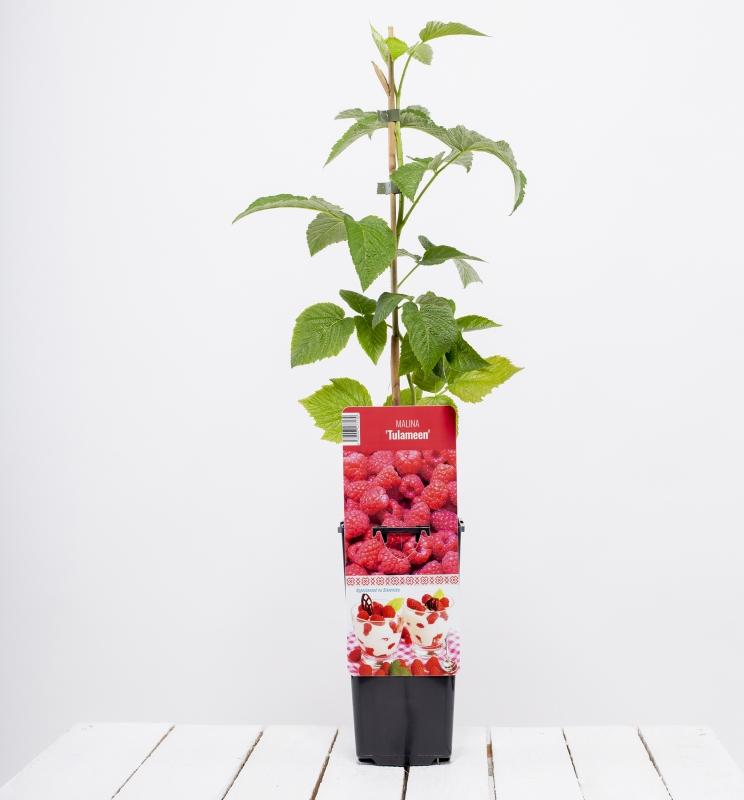 Drobné ovocie - Malina červená ´TULAMEEN´