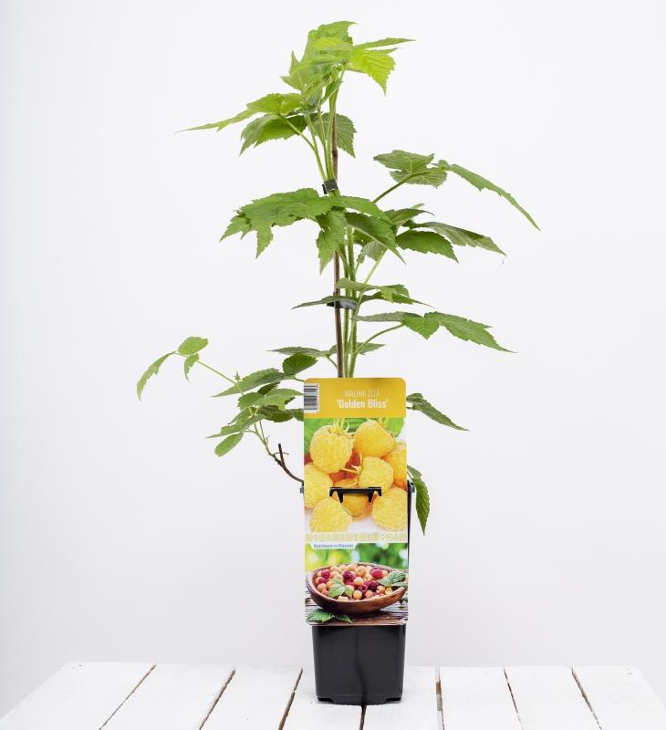 Drobné ovocie - Malina žltá ´GOLDEN BLISS´