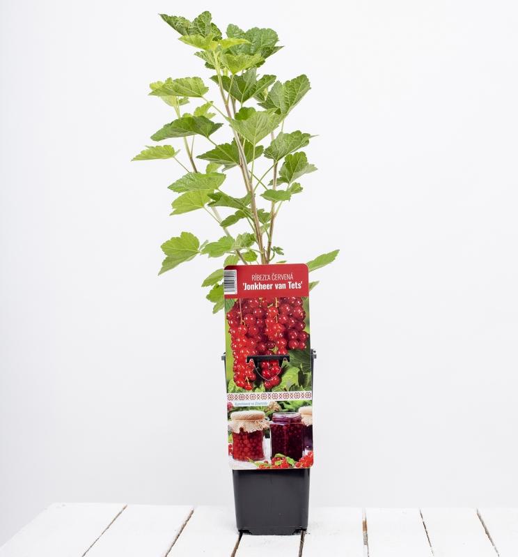 Drobné ovocie - Ríbezľa červená ´JONKHEER VAN TETS´