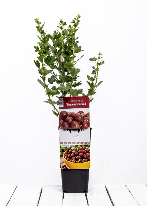 Drobné ovocie - Egreš červený ´HINNONMAKI ROD´