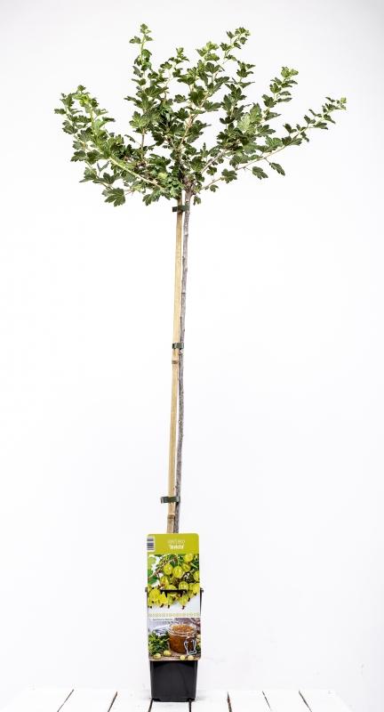 Drobné ovocie - Egreš biely ´INVICTA´ (Stromčekový)