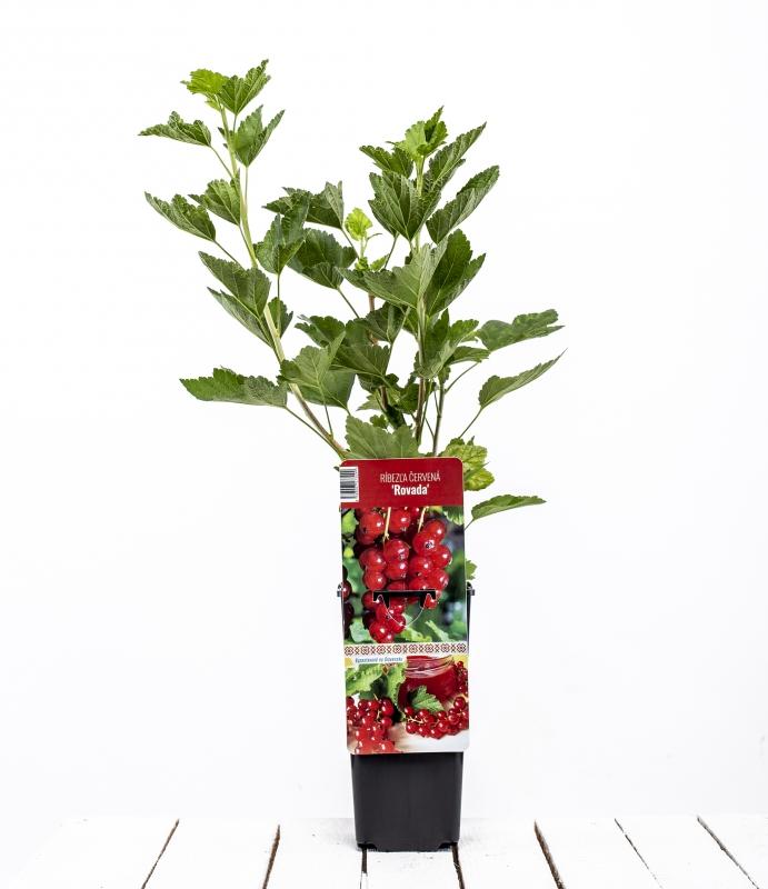 Drobné ovocie - Ríbezla červená ´ROVADA´