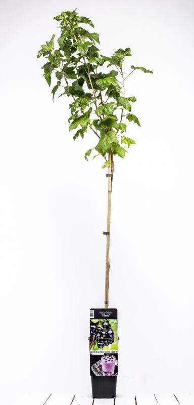 Drobné ovocie - Ríbezla čierna ´TITANIA´ (Stromčeková)