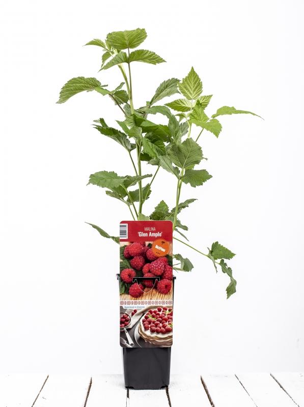 Drobné ovocie - Malina červená ´GLEN AMPLE´