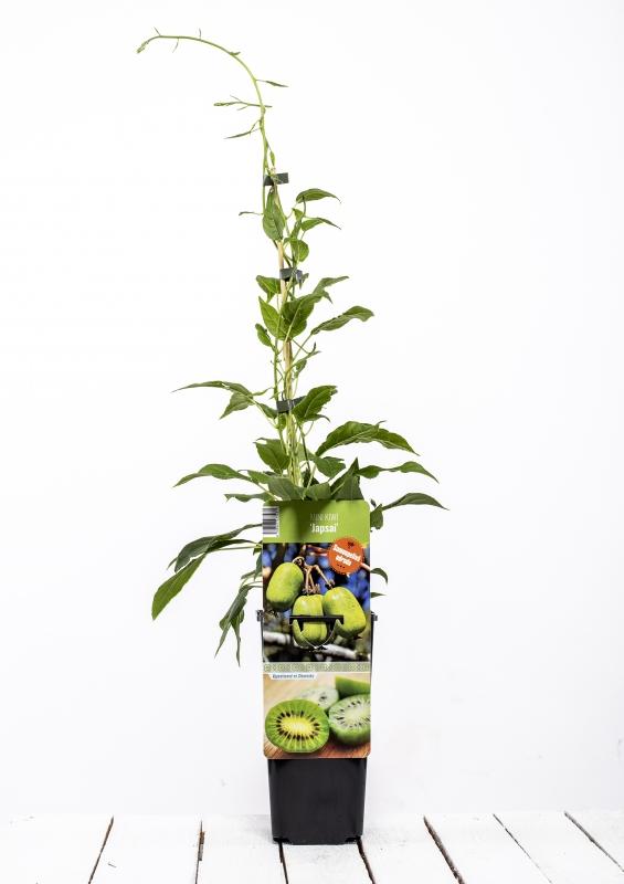 Drobné ovocie - Mini kiwi ´JAPSAI´
