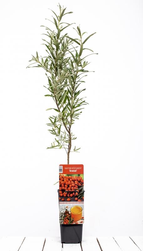 Drobné ovocie - Rakytník samica ´AROMAT´