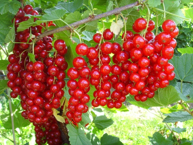 Drobné ovocie - Ríbezľa červená ´JONKHER VAN TETS´ (Stromčeková)