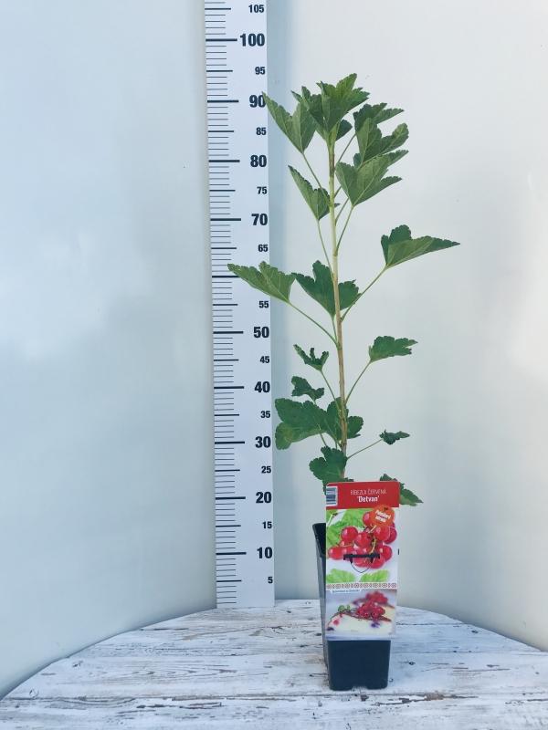 Drobné ovocie - Ríbezla červená ´DETVAN´
