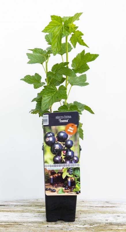 Drobné ovocie - Ríbezla čierna ´TSEMA´