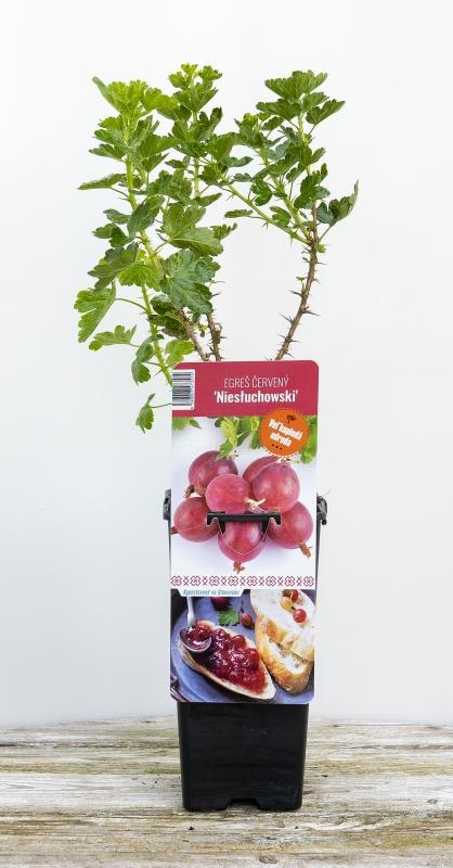Drobné ovocie - Egreš červený ´NIESLUCHOWSKI´