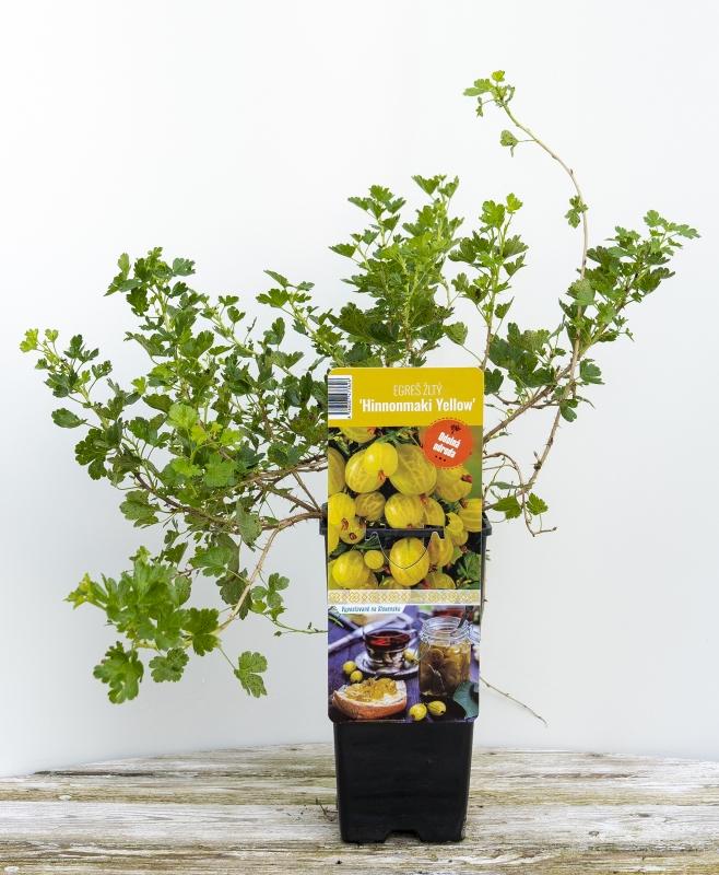 Drobné ovocie - Egreš biely ´HINNONMAKI YELLOW´ Ker