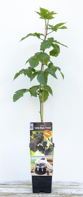 Drobné ovocie - Černica ´LITTLE BLACK PRINCE´