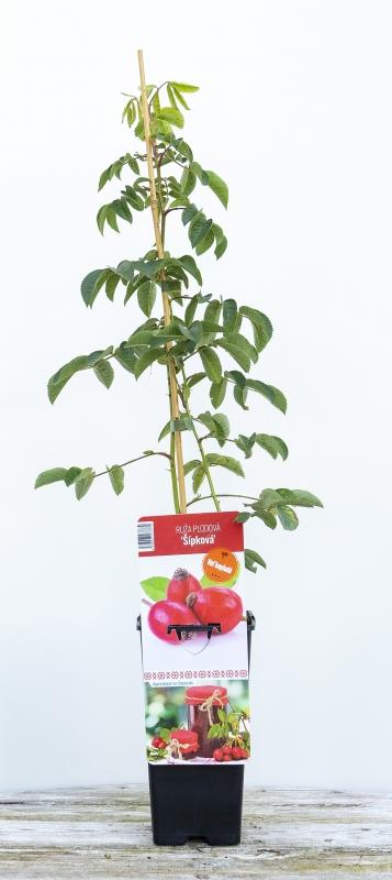 Drobné ovocie - Ruža plodová ´ŠÍPKOVA´